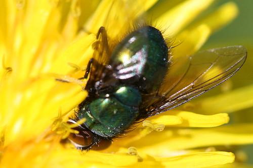 Greenbottle Fly, Lucilia sericata