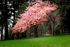 Kwanza Cherry Tree on Mt Tabor