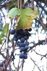 Home Made Concord Grape Juice