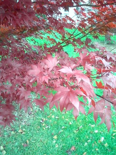 Japanese Maple at Mcmaster