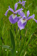 Blue Flag or Wild Iris