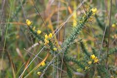 Ulex bush