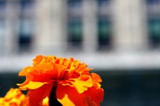 orange flower, state opera