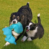 The Border Collie War: ABCA vs. AKC