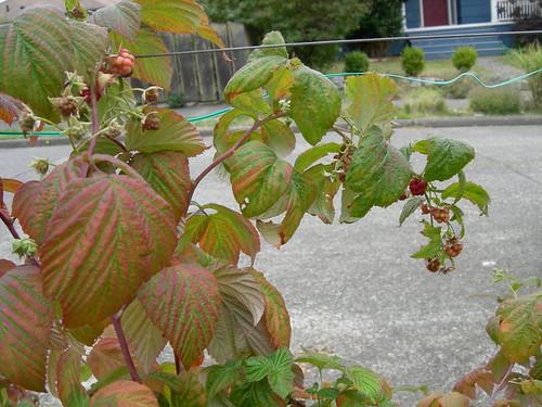 Parking Strip Raspberries