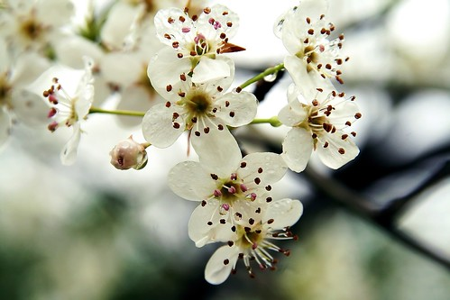 Blossoms 7