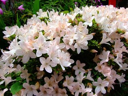 サツキ~白花