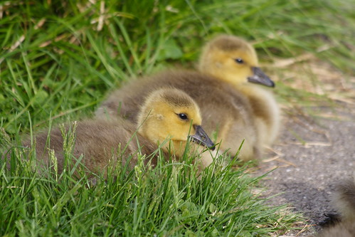 Goslings - Two