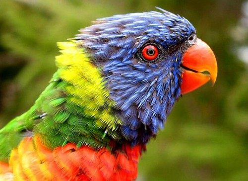 Rainbow or Parrot