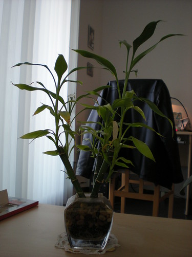 My bamboo