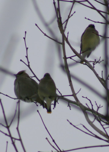 Cedar and Bohemian Waxwings