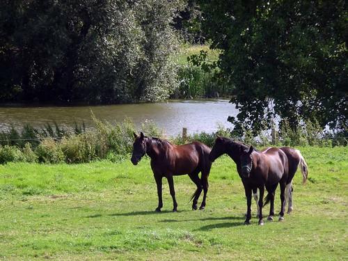 Drie paarden aan de Leie