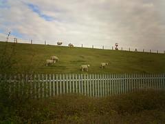 London Sheep!