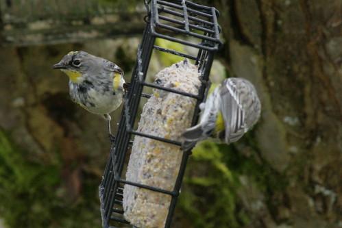 Backyard birds in Oregon
