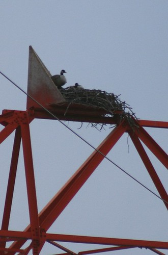 Canada Geese in Osprey's Nest