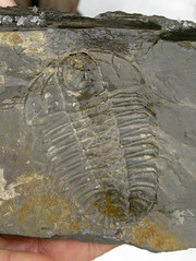Olenoides trilobite from the Burgess Shale