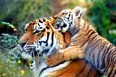 Warning!!!...Tiger in training...:O))
