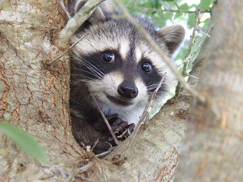 Image result for scared raccoons