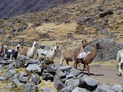 Lama Bolivia 2005