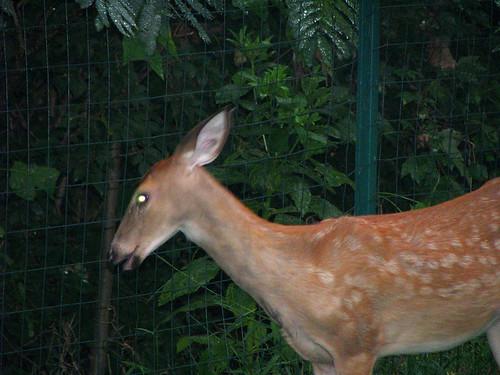 Deer in our yard - 20080912-6
