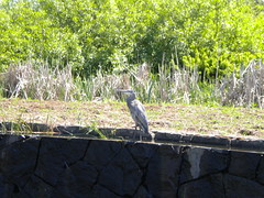 At Oregon Garden - Blue Heron