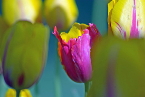 yellow-red tulips, istanbul tulip festival, istanbul, pentax k10d