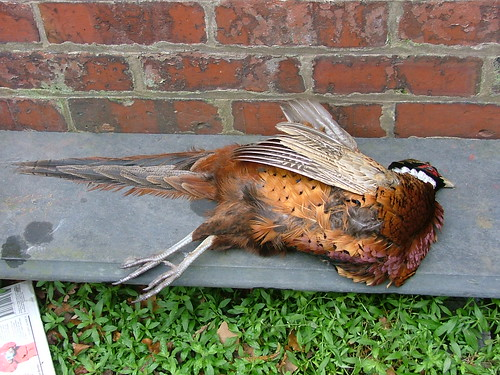 pheasant road kill