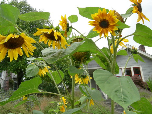 Nodding sunflowers
