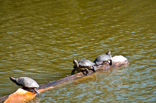 Turtles at Stow Lake