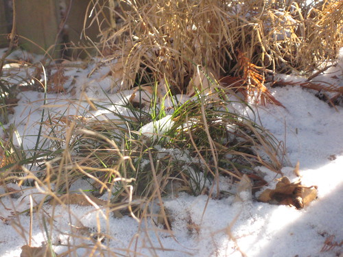 Sedge in snow