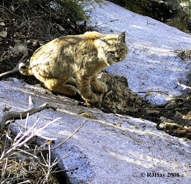 Grand Canyon Pussy Cat (Bobcat - Lynx rufus)