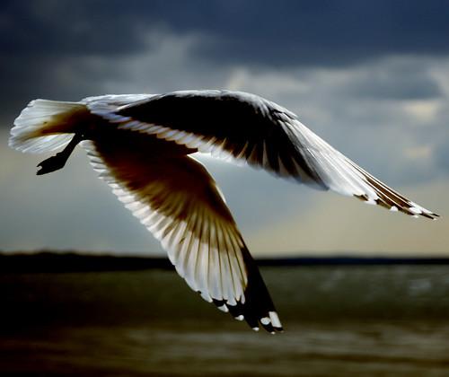 sky bird wow flying wings bravo firstquality coolestphotographers tiosstyle ishootwiththelight theresmymimbrava hugsforjuney howthelightlandsonthebirdflowsthroughthefeathers thisromanticseagullhasevenbroughtflowers heistrulyglidingthroughthelight thetransparentfeatherdetailsareabsolutelyamazing awesomemydeartio aflightfullofgraceelegance