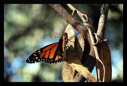 monarch4edit