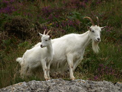 Feral Kashmir goat  by edwina bullock