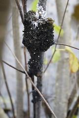 Sooty Mold Fungus