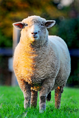 Bicolor sheep by Tambako the Jaguar, on Flickr