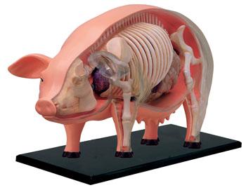 3D Pig Anatomy Puzzle