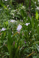 生田緑地のシャガ(Iris japonica at Ikuta Ryokuhi, Japan)