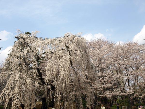 伏姫桜13