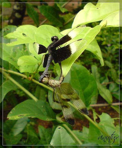 Two tumbhiez   Two Dragonflys