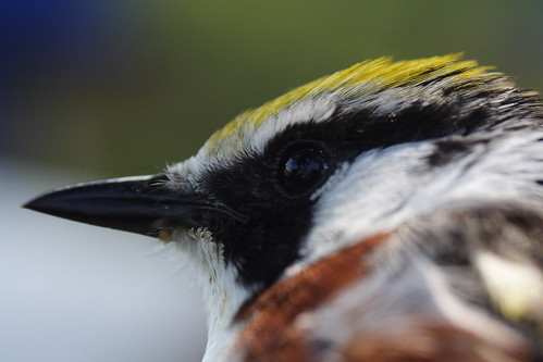 Chestnut-sided Warbler Closeup