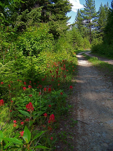 Indian Paintbrush along USFS road 7581