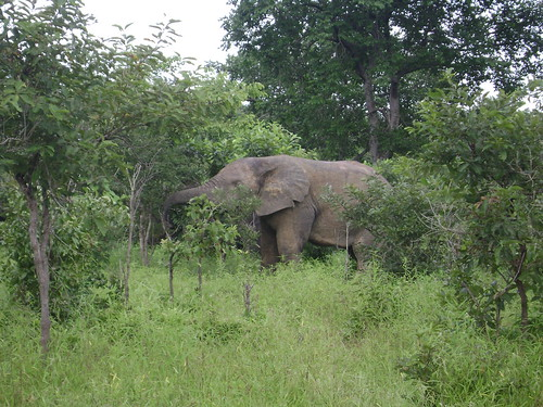 An elephant eats his lunch of leaves in Mole National Park.