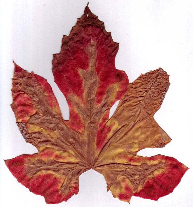 druivenblad-herfstkleur