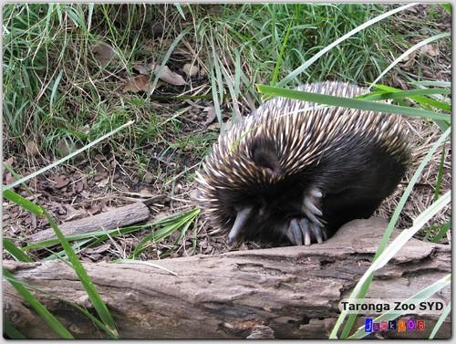 Taronga Zoo - Short-beaked Echidna