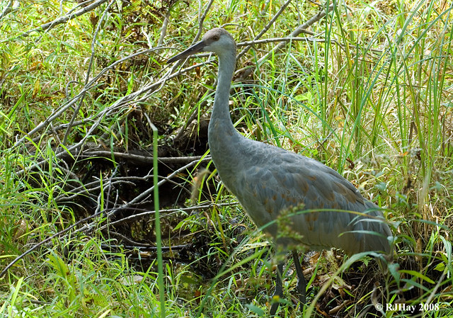 Juvenile Sandhill Crane - Kensington Park, Michigan
