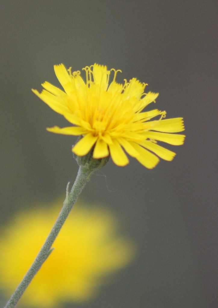 narrowleaf hawkweed
