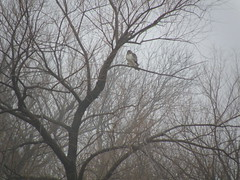 redtail hawk in tree