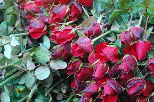 Benguet Bahung La Trinidad Flower Farm 3