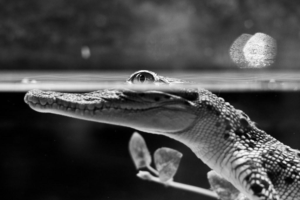J29 / Thème libre : les crocodiles